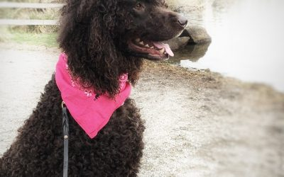 Adopt Irish Water Spaniel Fergus